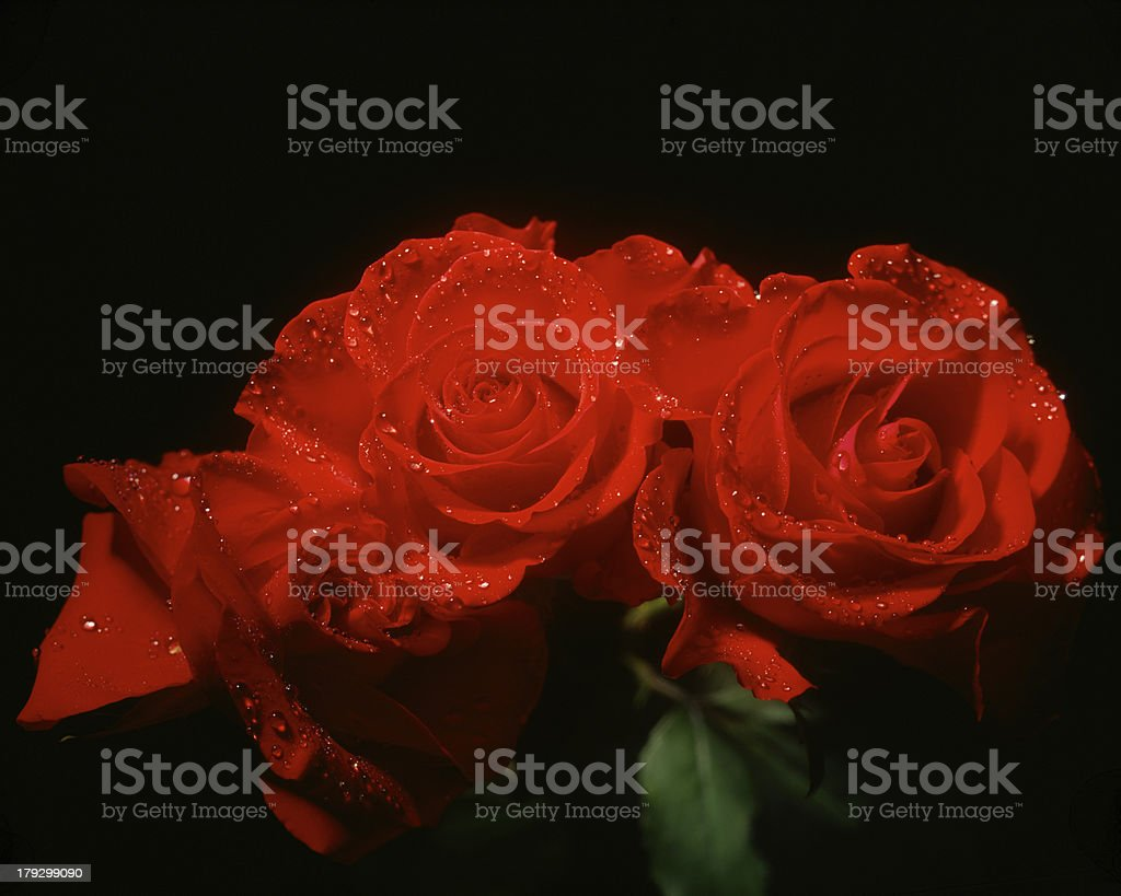 three roses royalty-free stock photo