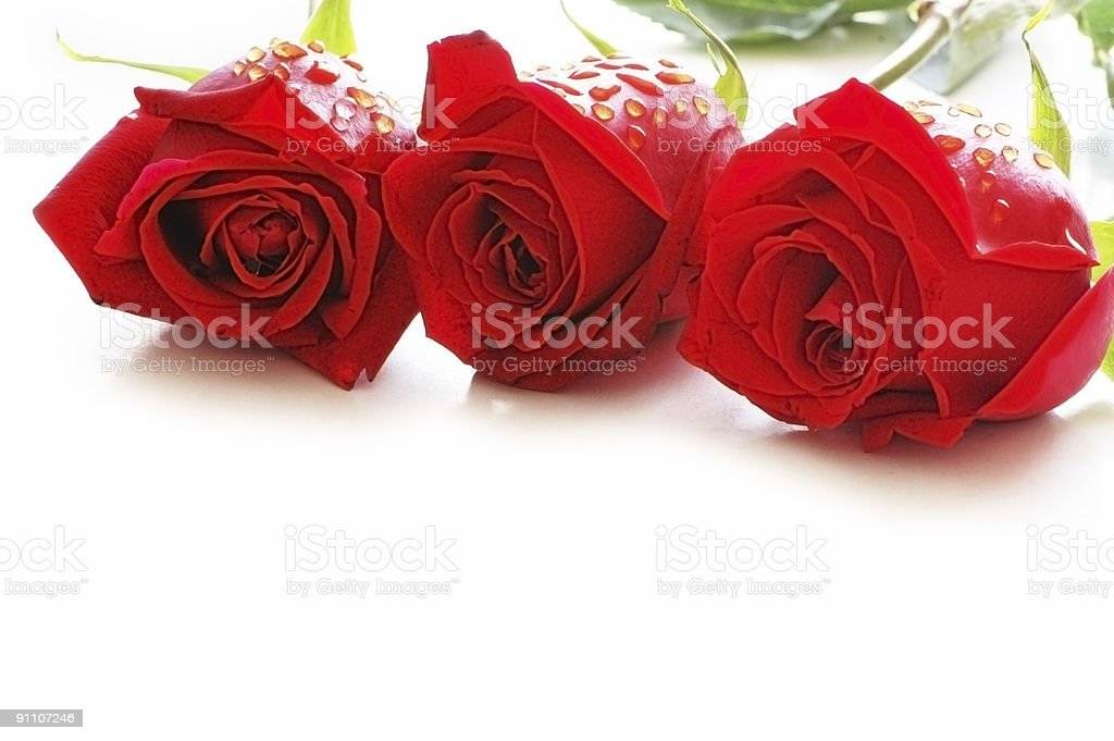 Three roses with water drops isolated on the white royalty-free stock photo