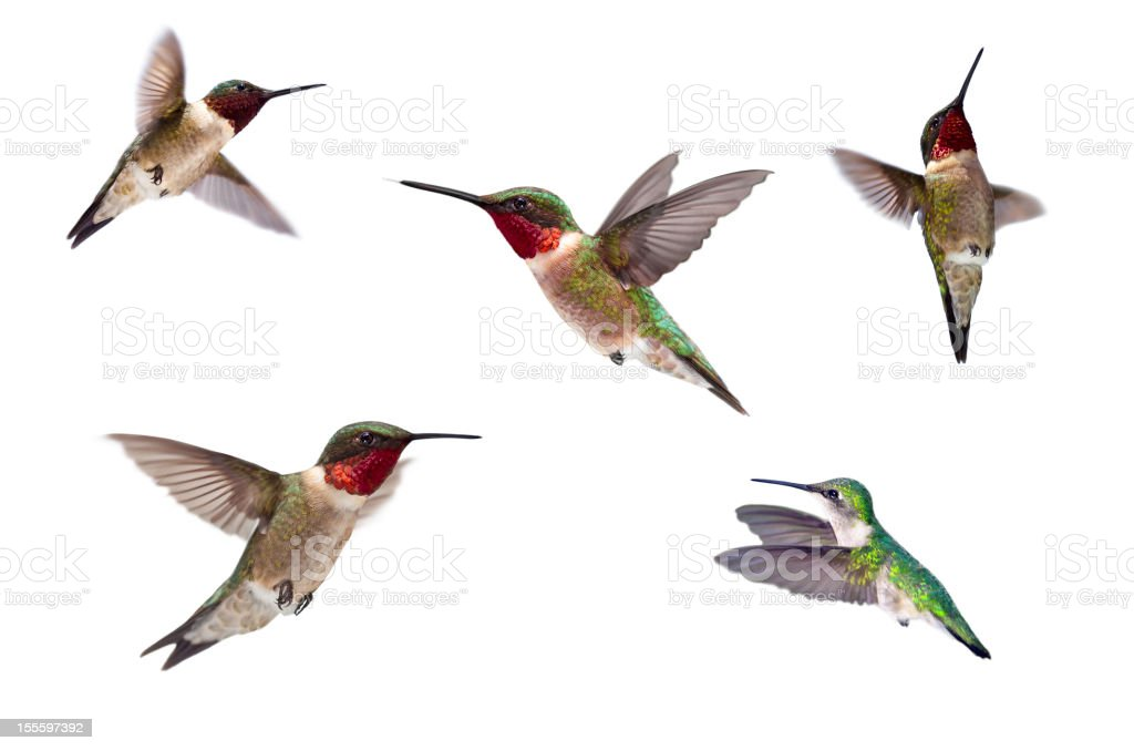 Three Ruby Throated Hummingbirds Isolated on White stock photo