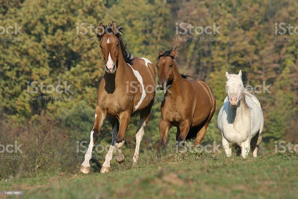 Three Running Horses royalty-free stock photo