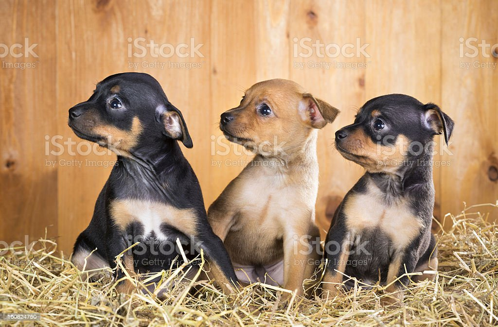 Three Russian Toy Terrier puppies royalty-free stock photo
