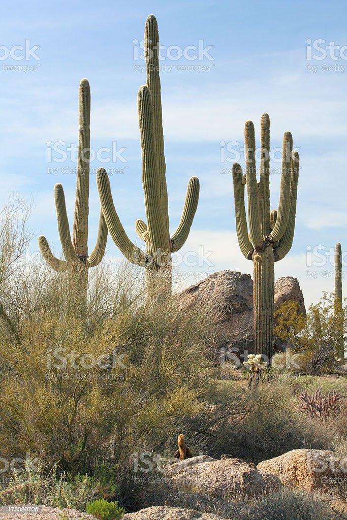 Three Saguaro Cacti royalty-free stock photo
