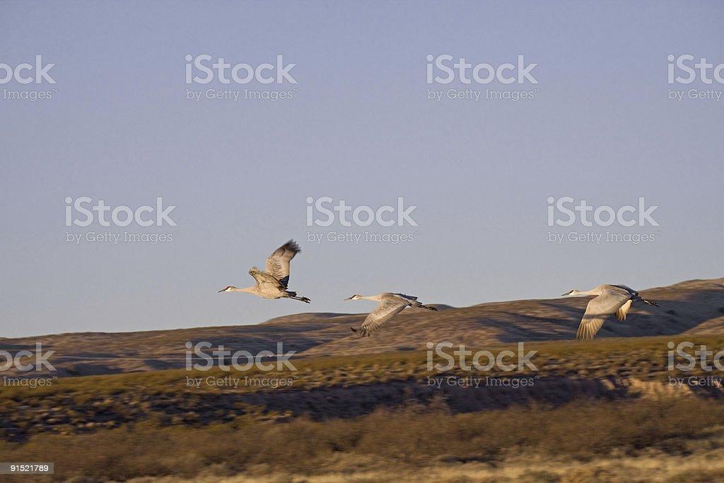 Three Sandhill Cranes flying stock photo