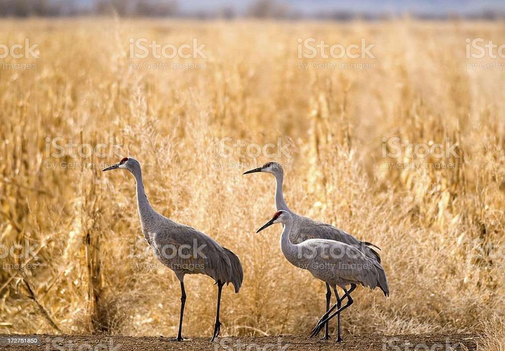 Three Sandhill Cranes (Grus canadensis) royalty-free stock photo