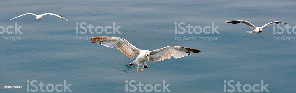 Three sea birds hovering in the air over the sea stock photo