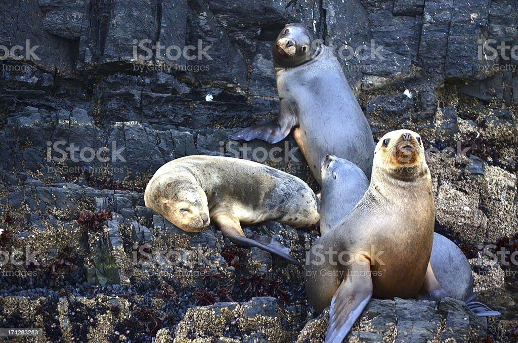 Drei Seelöwen Lizenzfreies stock-foto
