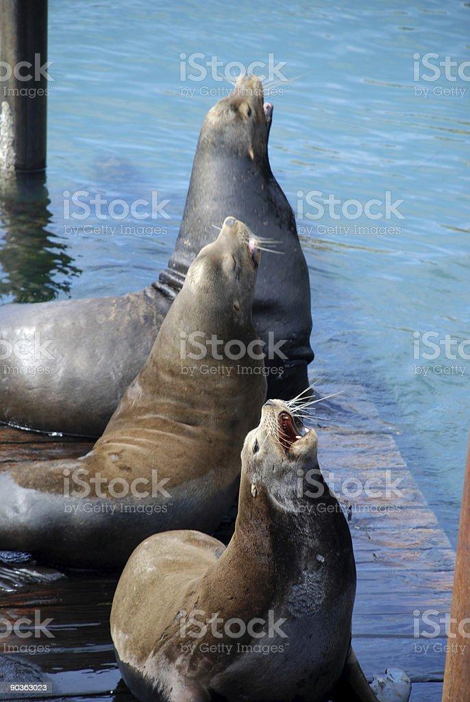 Three sea lions royalty-free stock photo