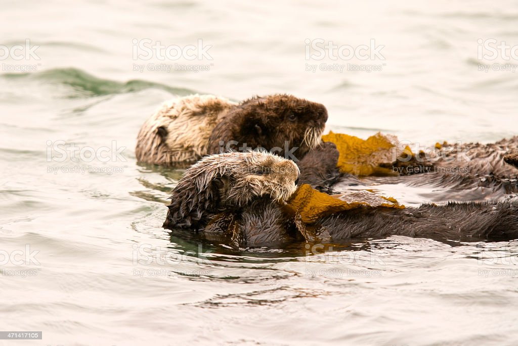 Three Sea Otters in a Kelp Bed stock photo