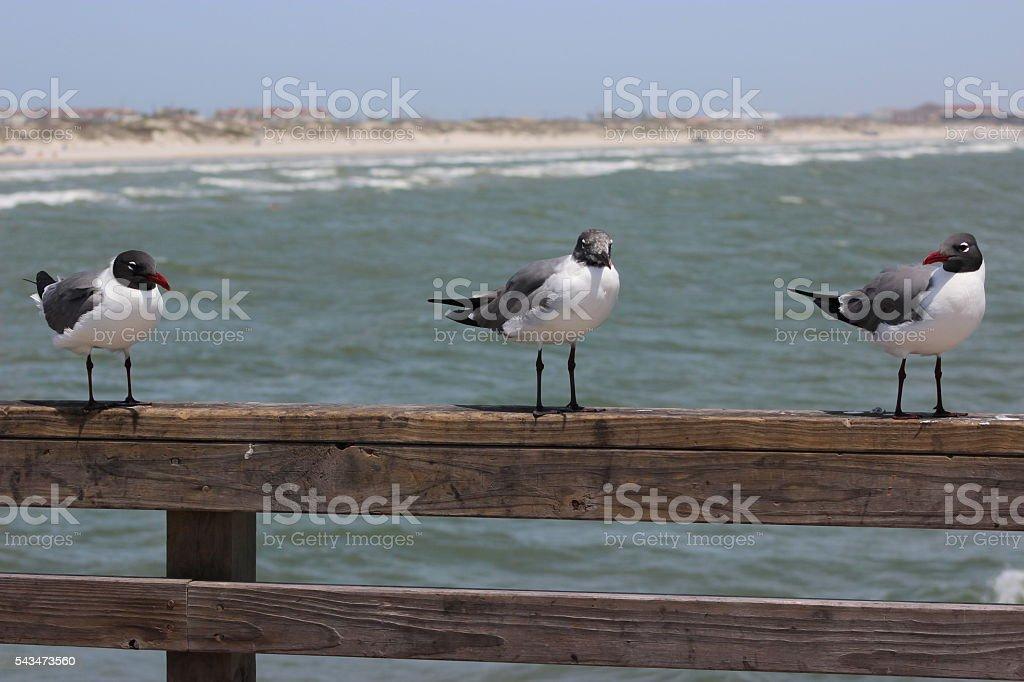 Three Seagulls stock photo