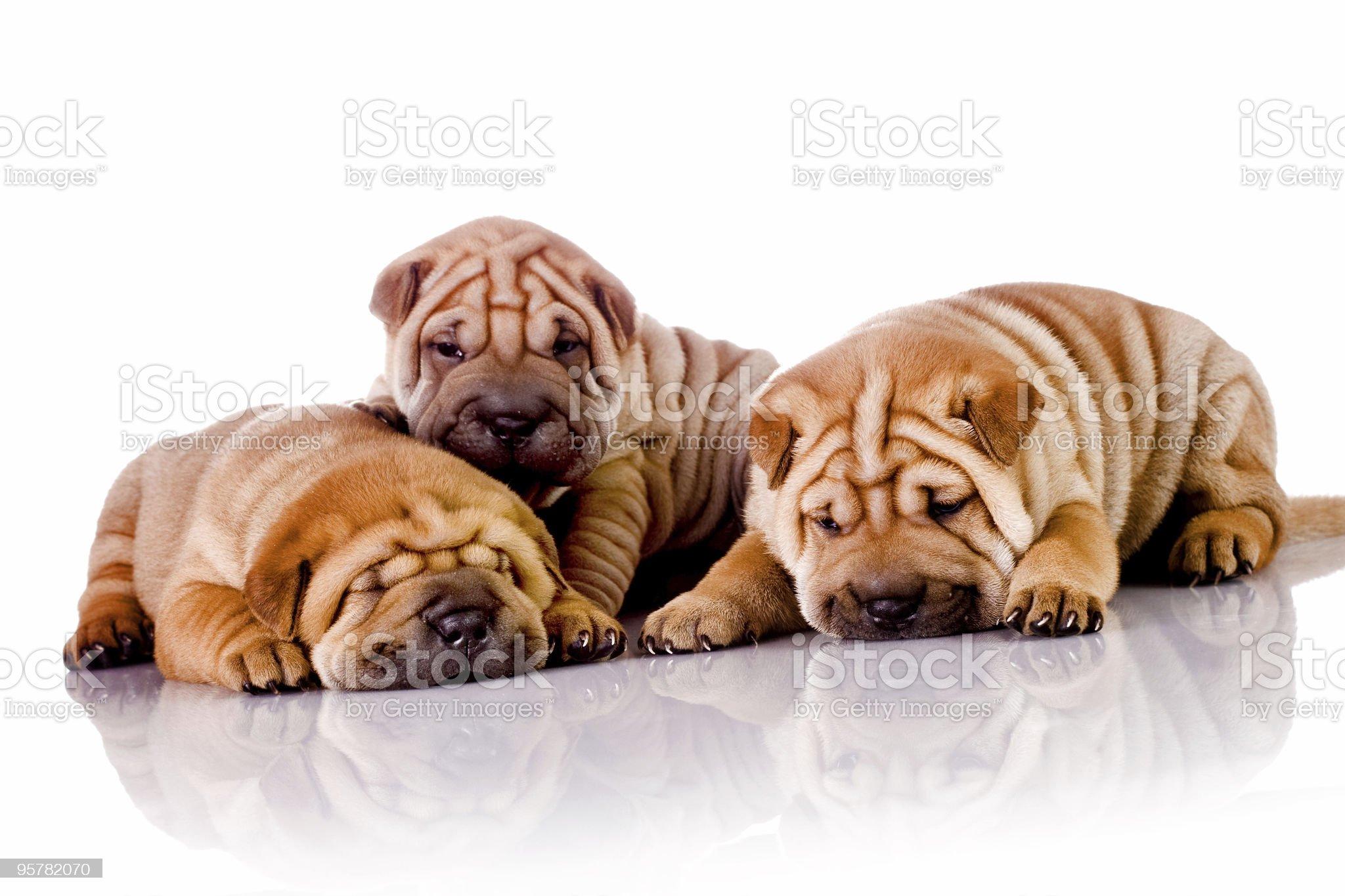 three Shar Pei baby dogs royalty-free stock photo