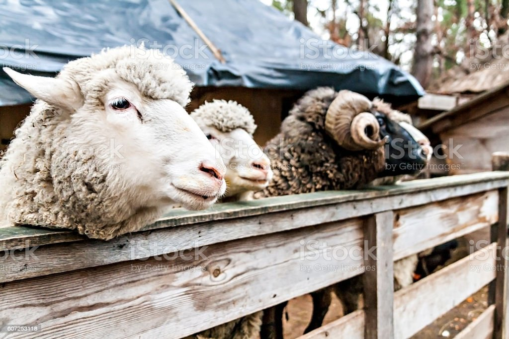 three sheep and the ram in a pen stock photo