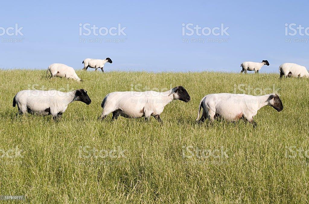Three sheep crossing stock photo