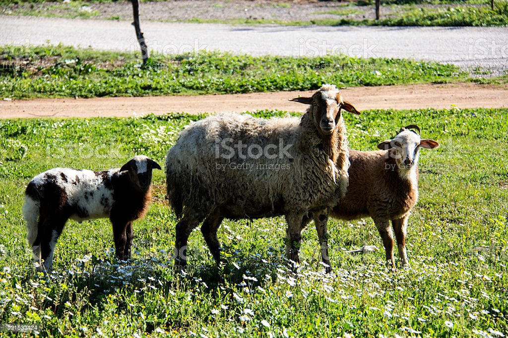 Three sheep in the meadow stock photo