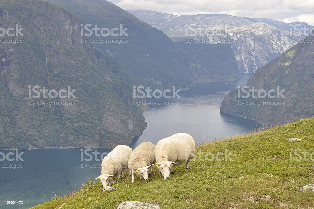 Three sheeps with fjord background stock photo