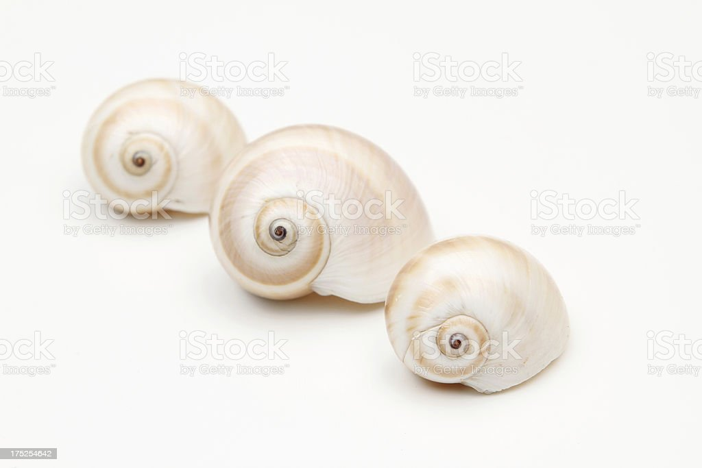 Three shell on white background royalty-free stock photo