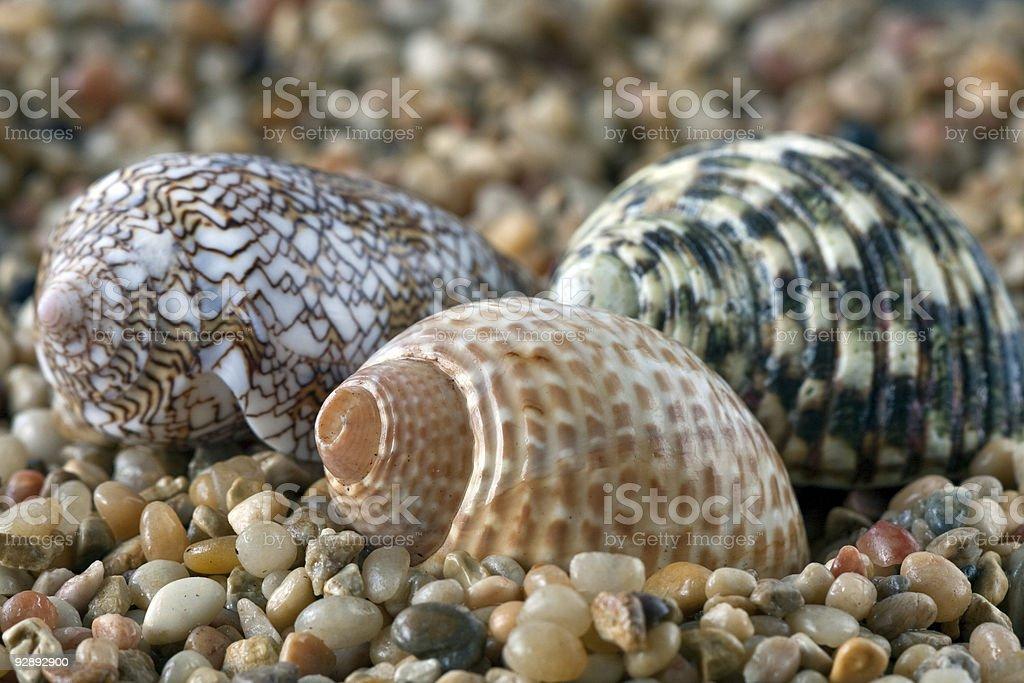 three shells royalty-free stock photo