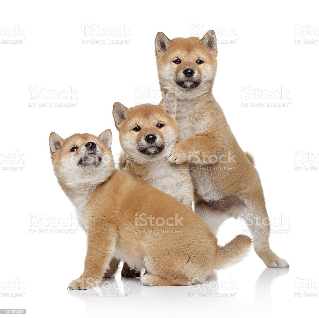 Three Shiba inu puppies royalty-free stock photo