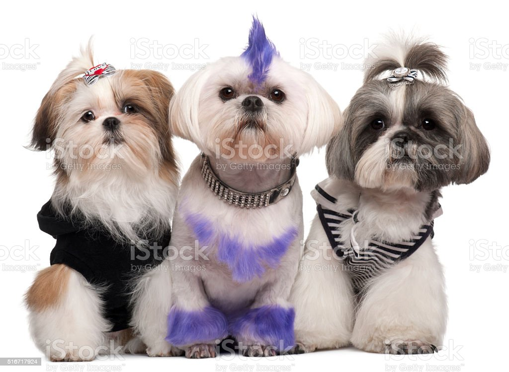 Three Shih Tzus dressed up stock photo