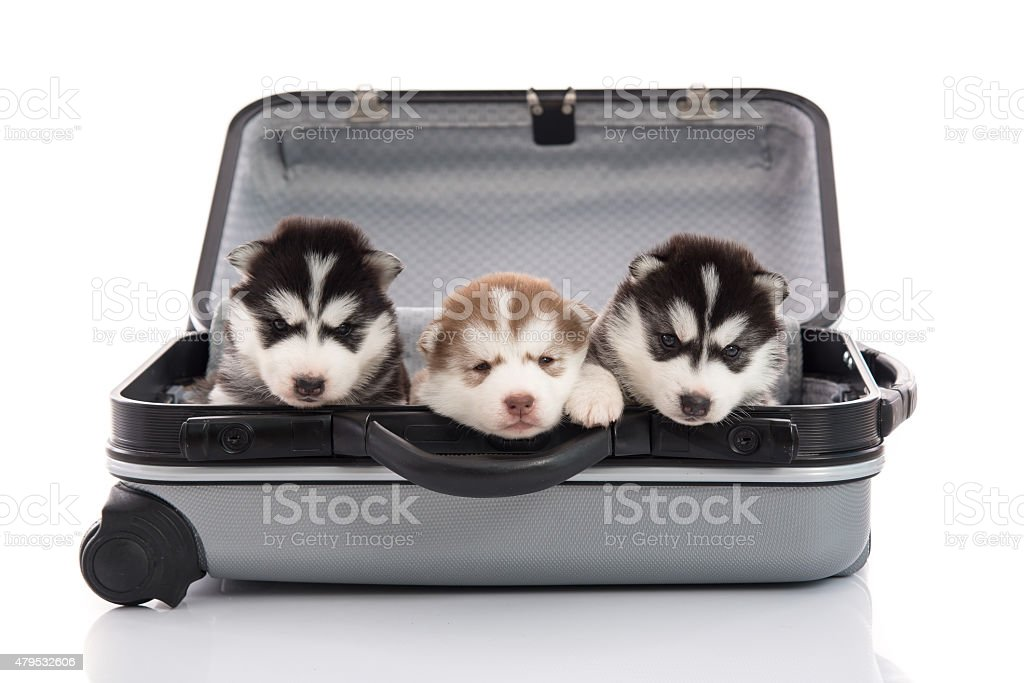 Three siberian husky puppies sitting and looking in suitcase stock photo