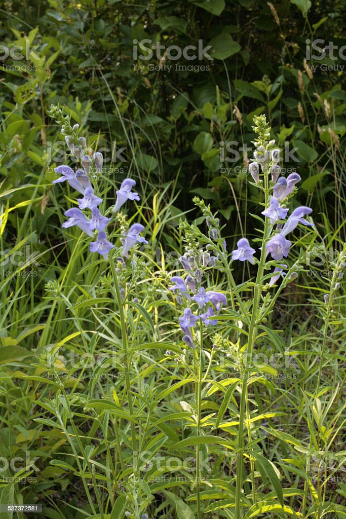 three Skullcap Plants stock photo