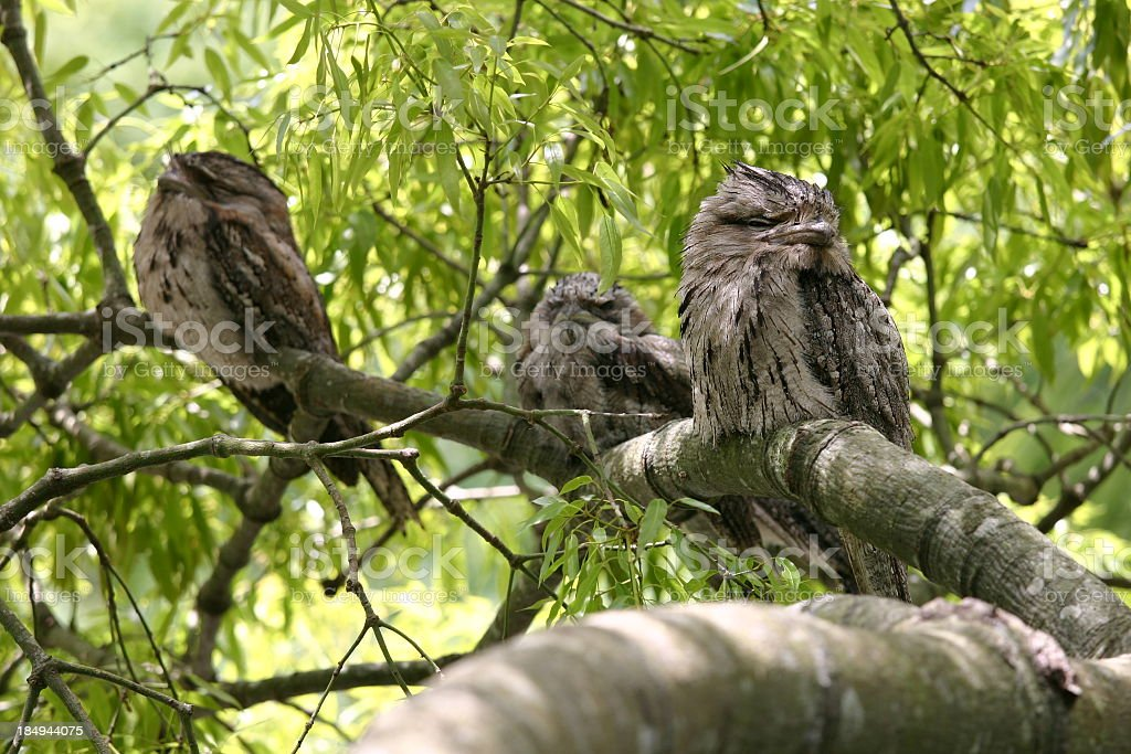 Three sleepy frogmouth owls on tree branch stock photo