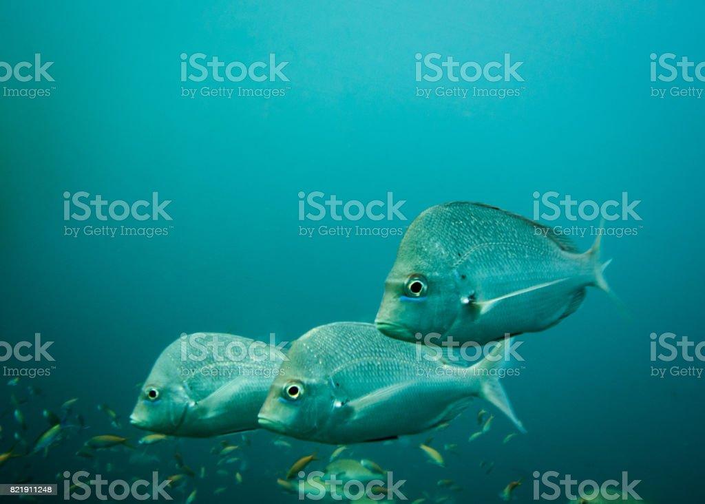 Three Slinger Fish swimming past stock photo