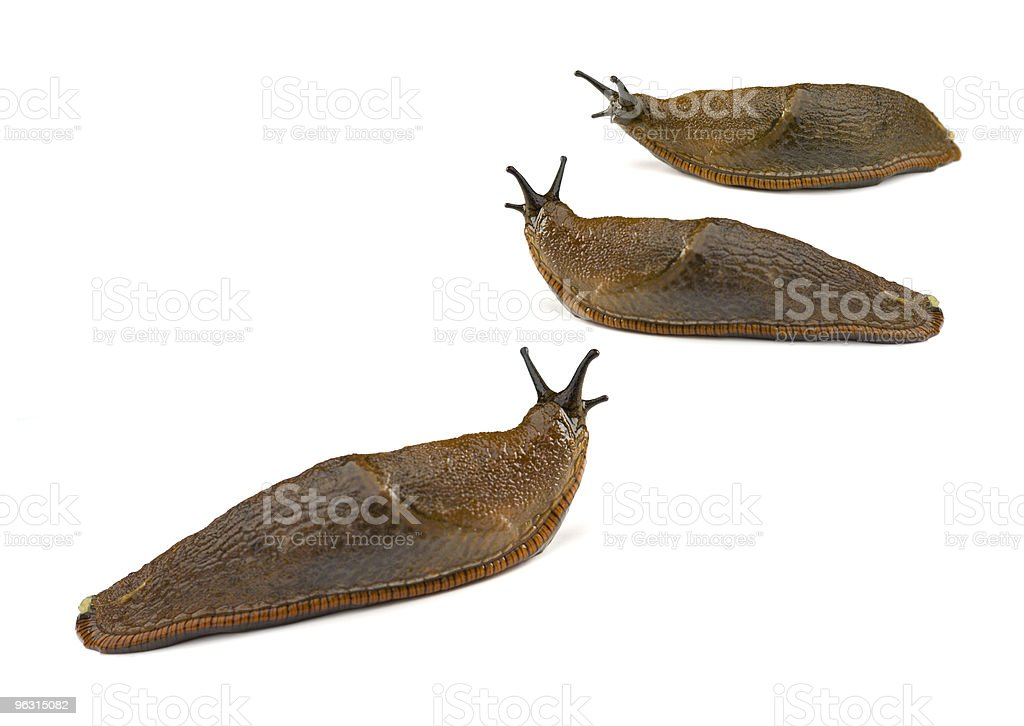 Three Slugs on white background royalty-free stock photo