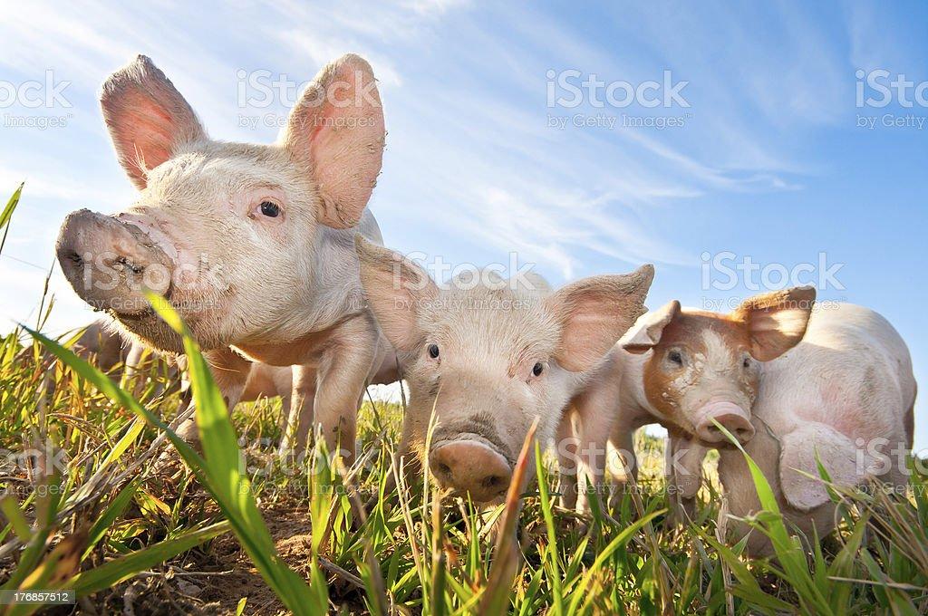 Three small pigs standing on a pigfarm stock photo