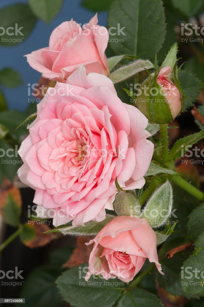 Three small pink roses with green foliage stock photo
