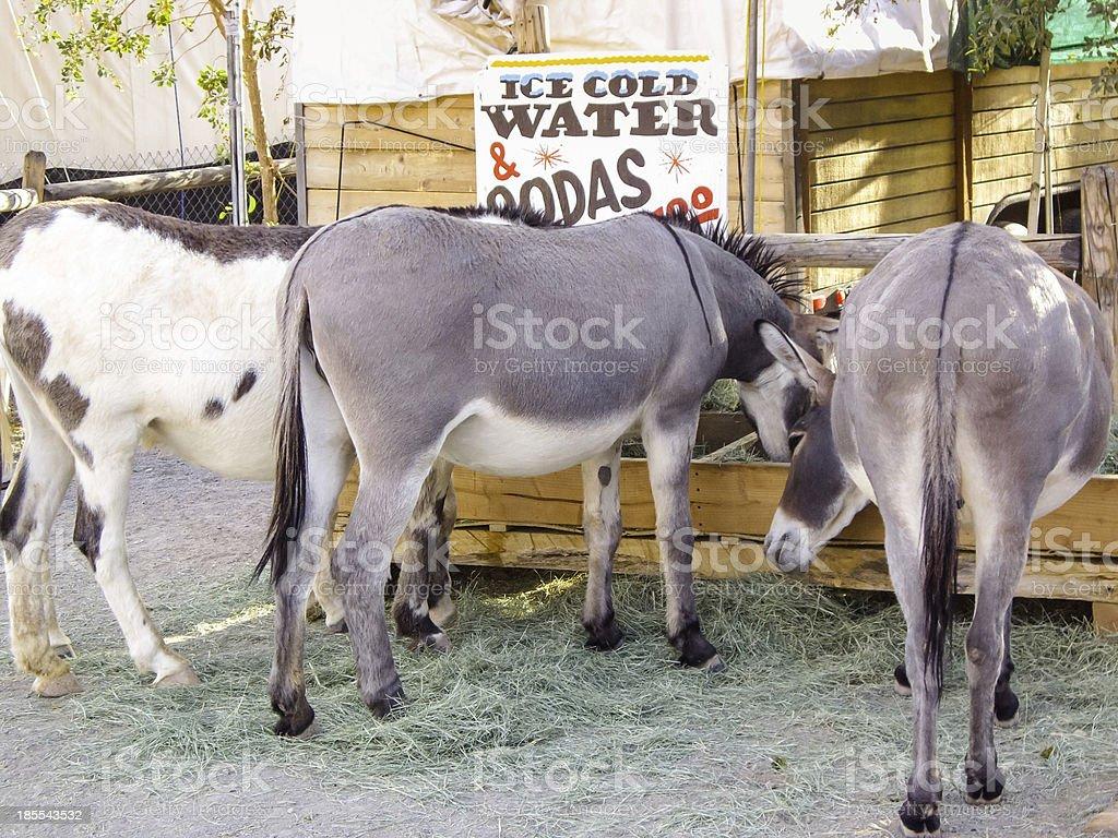 Three Smart Burros having a drink royalty-free stock photo