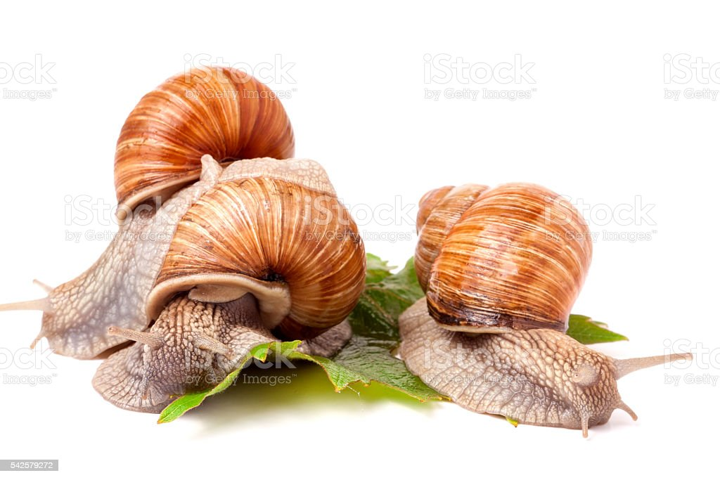 Three snail crawling on the grape leaves white background stock photo