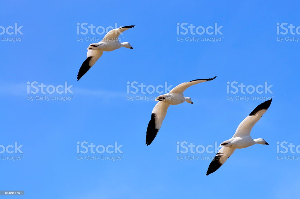 Three Snow Goose, Chen caerulescens, In A Row stock photo