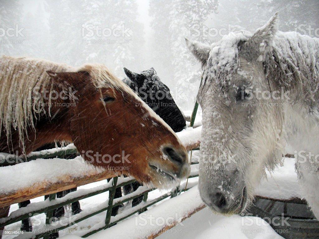 Three Snowy Horse Heads stock photo