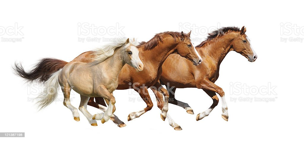Three sorrel horses gallop  - isolated on white stock photo