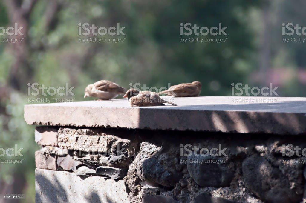 Three Sparrows on a Ledge. stock photo