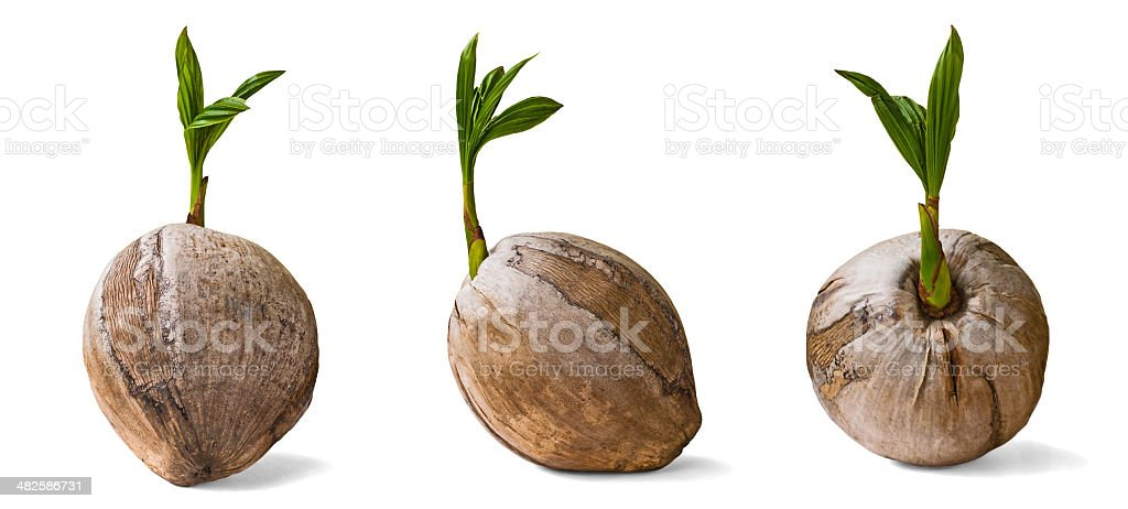 Three sprouting coconuts isolated on white background stock photo