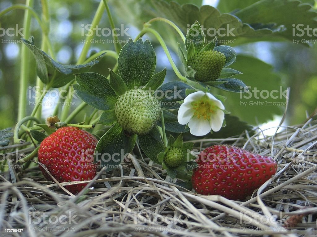 Three Stages of a Strawberry royalty-free stock photo