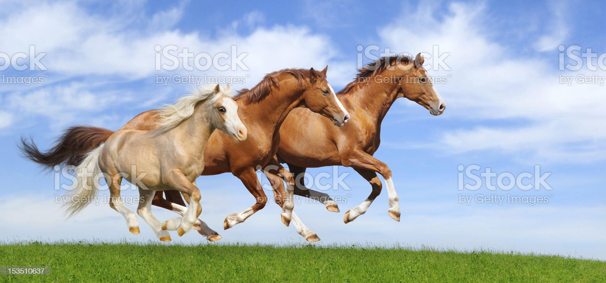 Three stallions gallop royalty-free stock photo