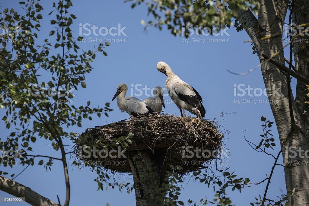 Three Storks inside stork's nest stock photo