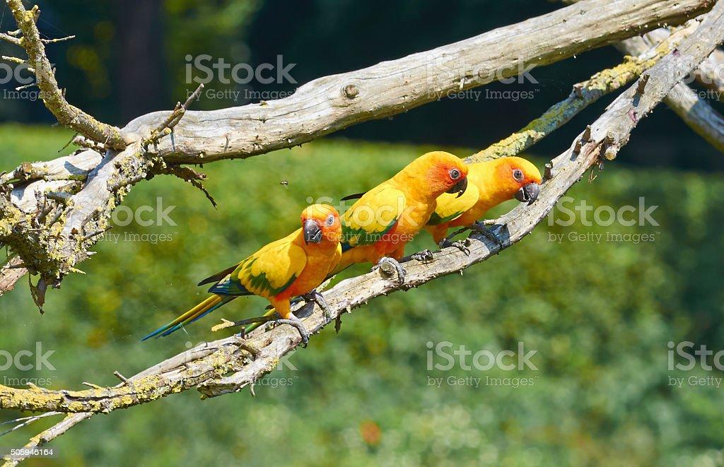 Three Sun parakeet (Aratinga solstitialis) sit on a branch stock photo