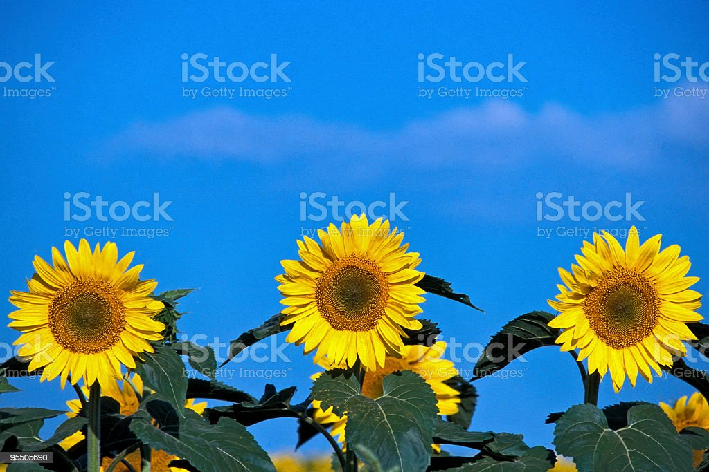 Three Sunflowers stock photo