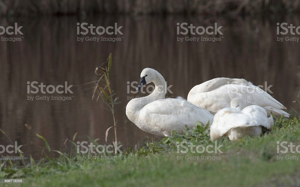 Three Swans On A Bank By Lake stock photo