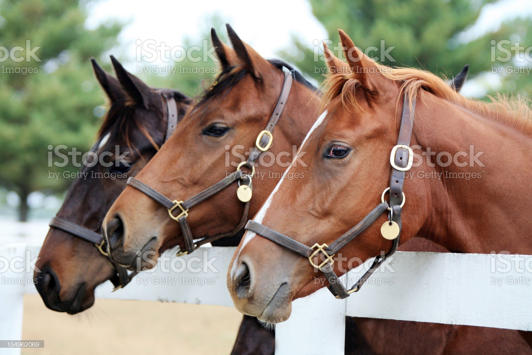 Three Thoroughbred Horses royalty-free stock photo
