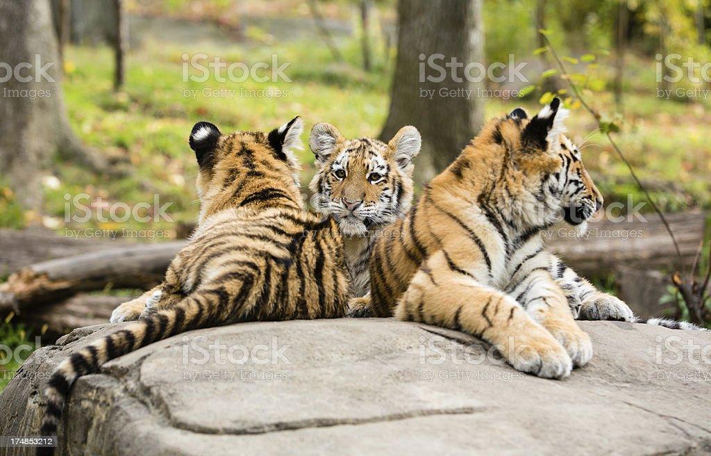 Three Tiger Cubs royalty-free stock photo