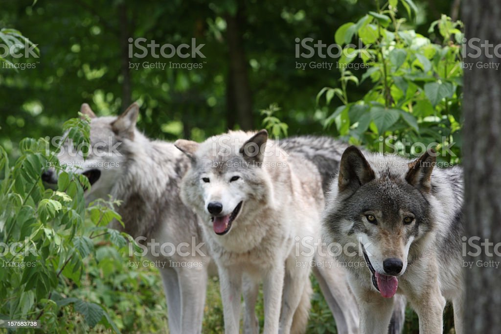 Three Timber Wolves stock photo