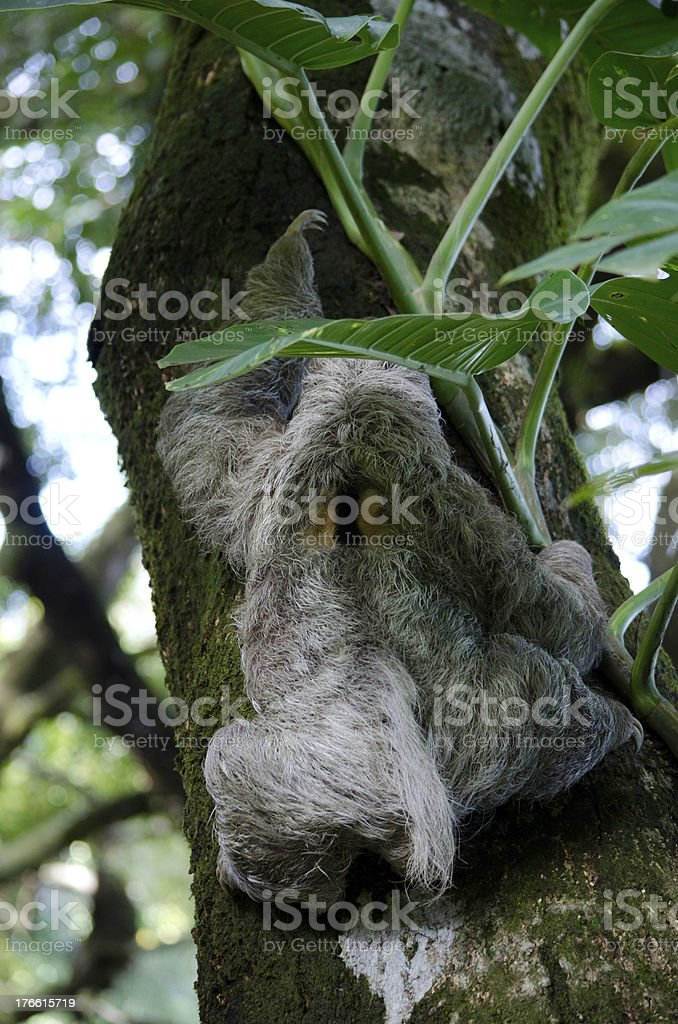 Three Toed Sloth Climbing royalty-free stock photo