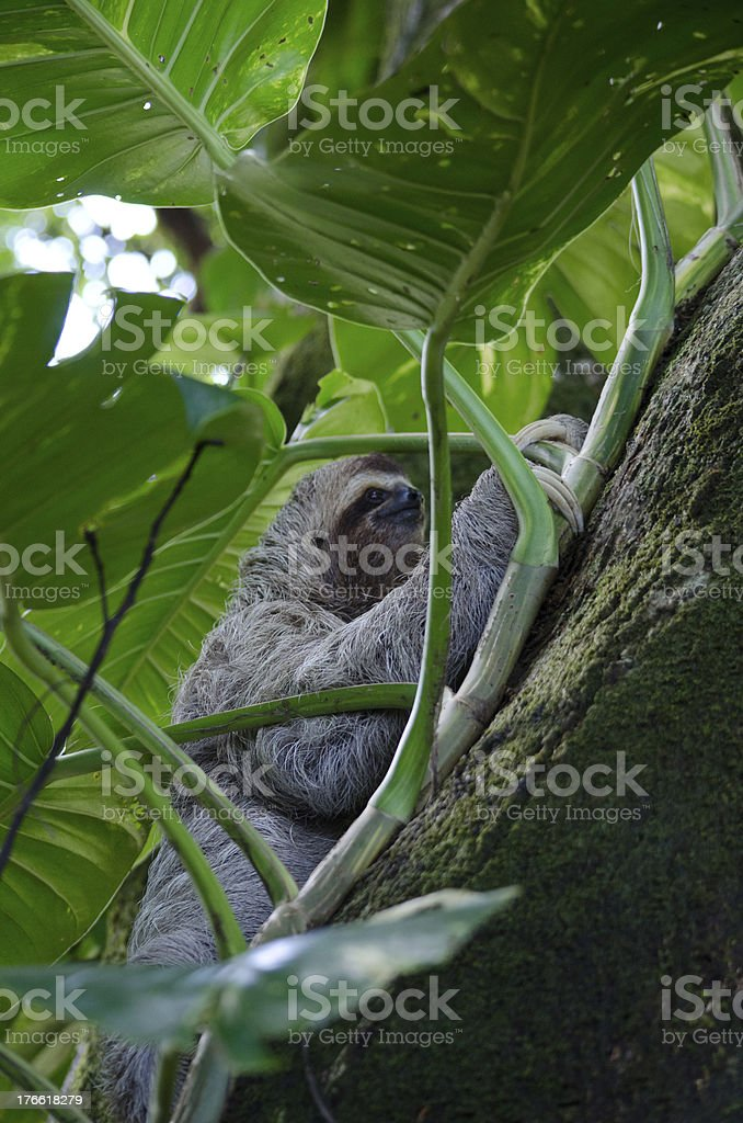 Three Toed Sloth Climbs Behind Leaves royalty-free stock photo