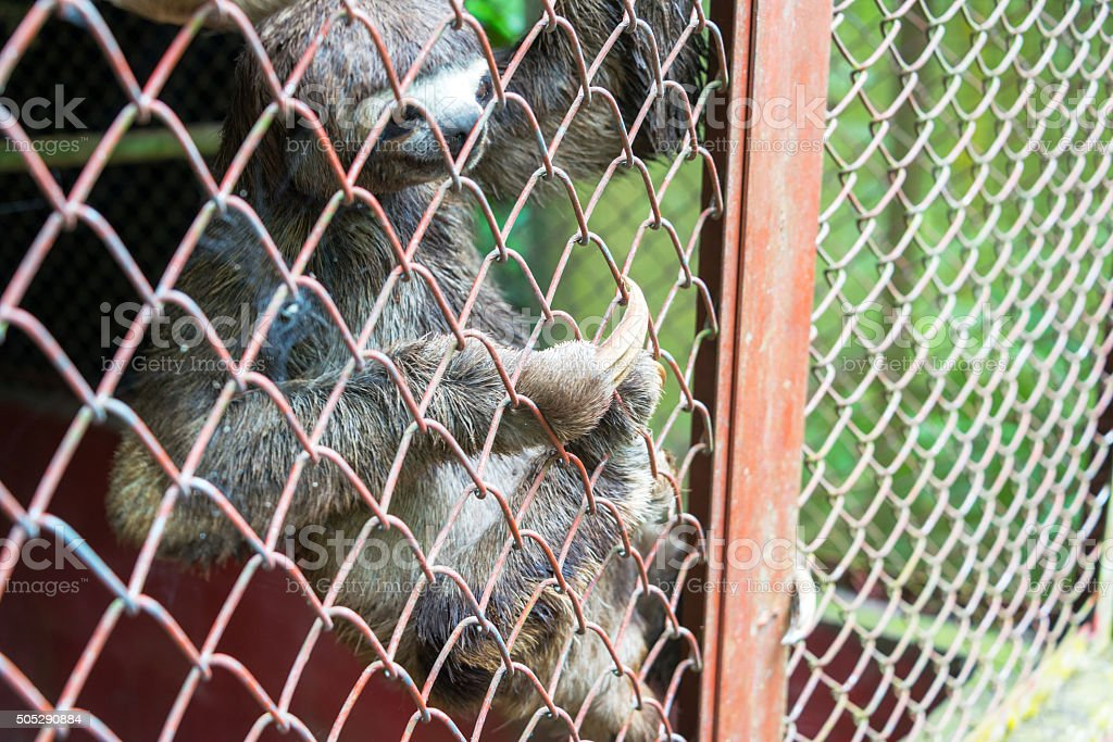 Three Toed Sloth in a Cage stock photo
