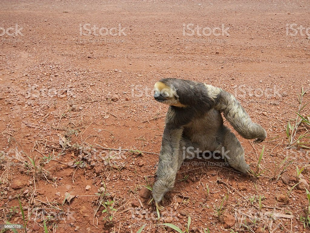 three toed sloth standing on dirty road stock photo