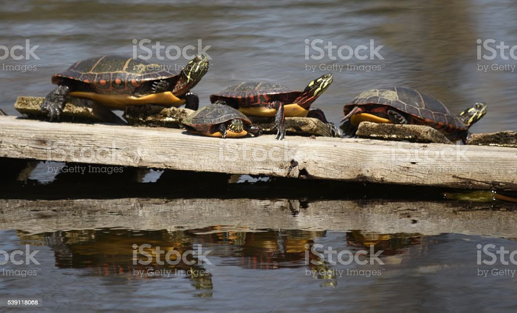 three tortoises and a baby on a log stock photo